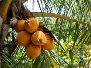 http://tipspetani.blogspot.co.id/2016/05/aneka-jenis-buah-kelapa.html