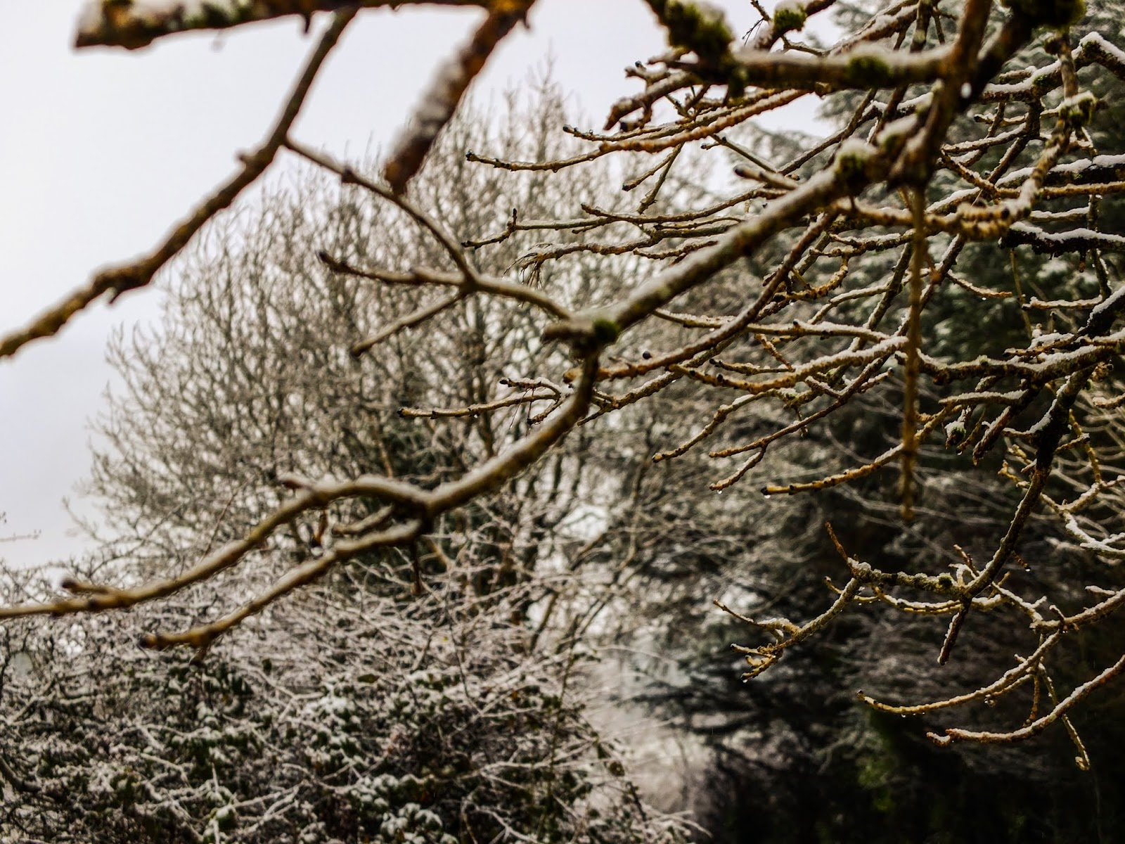 Image taken under snow covered tree branches in the Boggeragh Mountains.