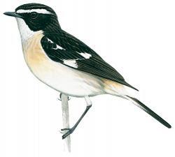 Saxicola macrorhynchus