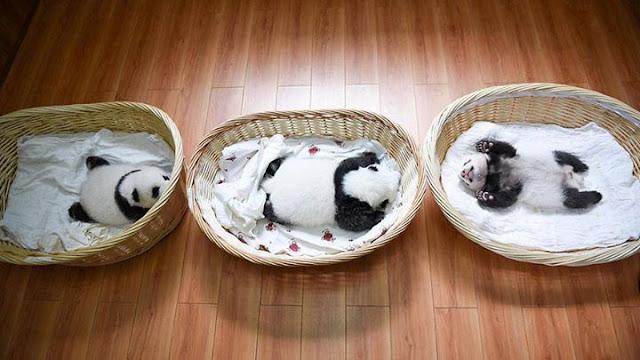 Children panda #5