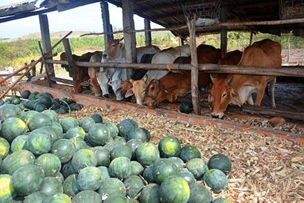 Gia Lai: Dưa hấu 300 đồng/kg - Ai cứu nông dân?