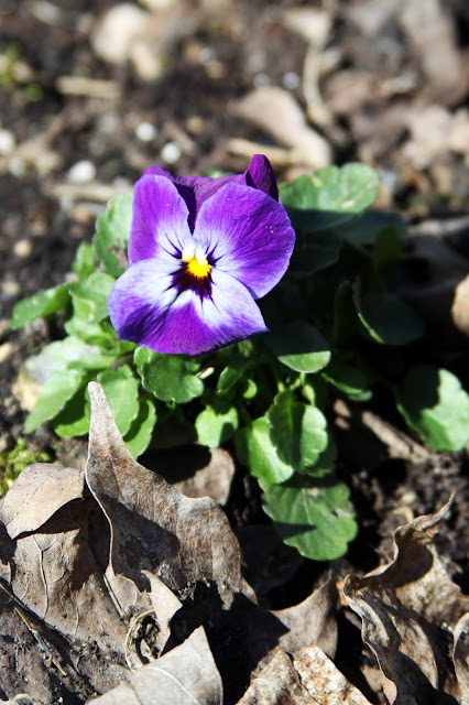 violas, pansies, spring flowers, garden, spring, Anne Butera, My Giant Strawberry