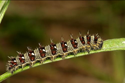 painted lady butterfly caterpillar - photo #24