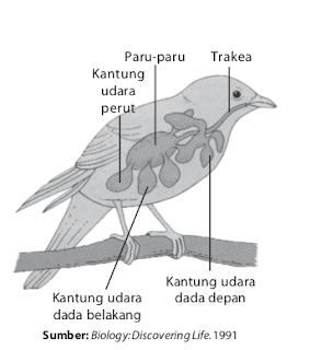 Pernapasan pada burung dibentuk oleh kantung-kantung udara