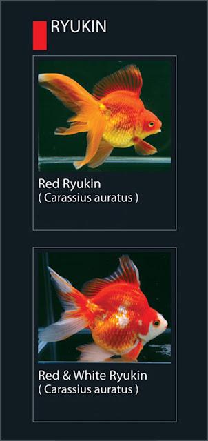 37. Red Ryukin Nama Latin Carassius Auratus   38.  Red & White Ryukin  Nama Latin Carassius Auratus