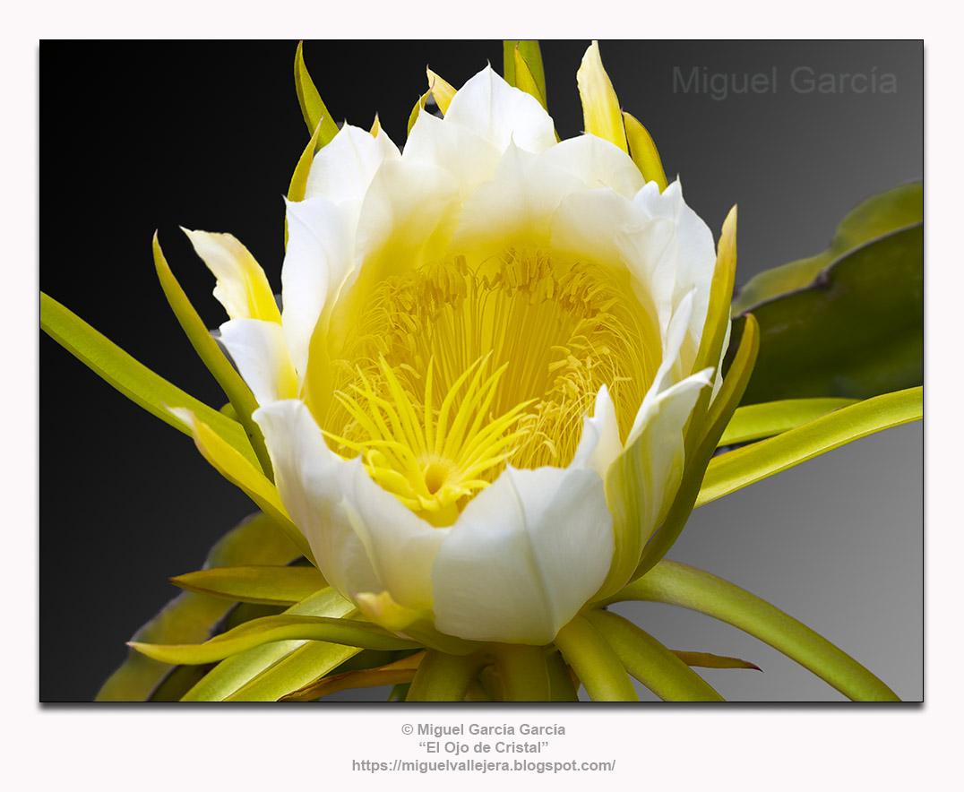 Flor de la Pitahaya