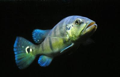 Peacock Bass Blue Azul Si Roket Bersirip Biru