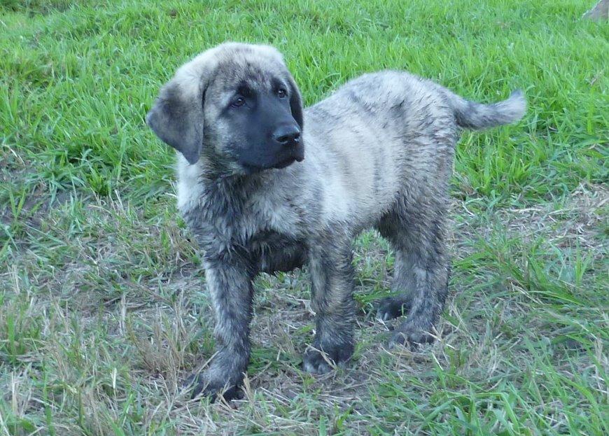 Shepherds Rest Farm: Anatolian Puppies 9 Weeks Old