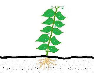 Leguminosas (Feijão-Verde, Ervilha, Fava, ...)