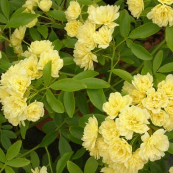 Rosa Banksiae Lutea