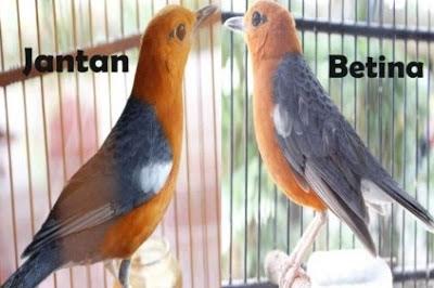 Burung kicau anis merah merupakan burung petarung yang mempunyai nama lain menyerupai punglor Ciri Akurat Burung Anis Merah Jantan Dan Betina Dewasa