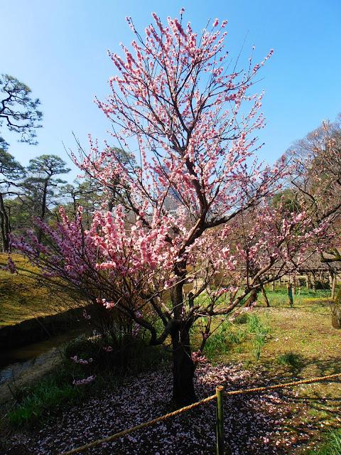 Ciruelo florido en los Jardines Koishikawa Korakuen de Tokio