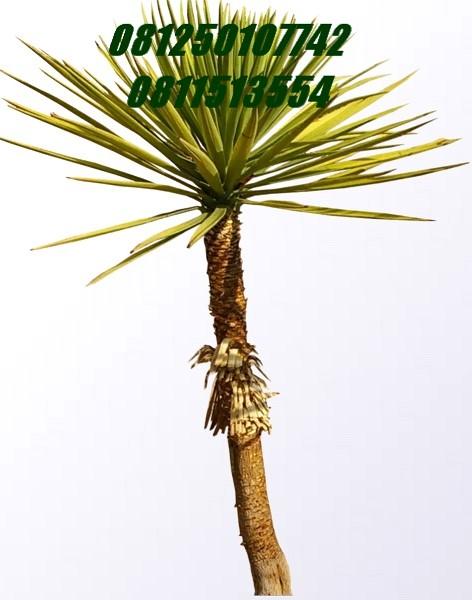 Yucca - tombak seribu | Jasa Tukang Taman Surabaya