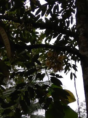 jual bibit durian bawor,bibit durian bawor kualitas super,bibit durian siap tanam,jual bibit durian bawor murah