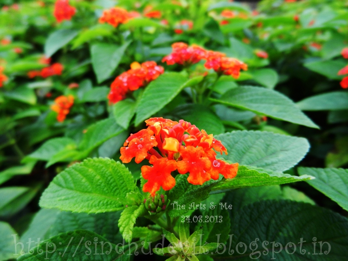 Orange and reddish orange lantana flower clusters