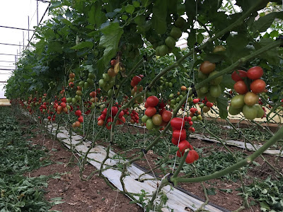 In the greenhouse of Giovanni Parisi with datterini (tomatoes).