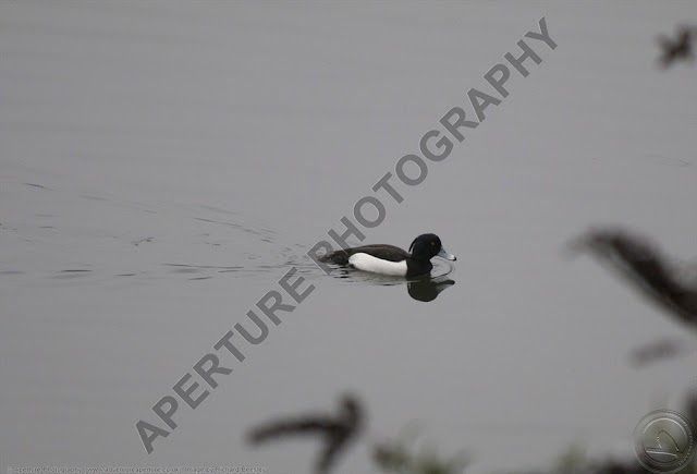 Tufted duck swimming alone with reflection