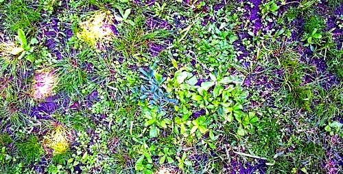 Lawn weeds clover and ground ivy, dandelions, crab grass, sorrel, etc.