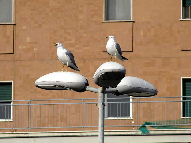 Gulls on a street lamp, Livorno