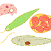 Protozoários (Exercícios)