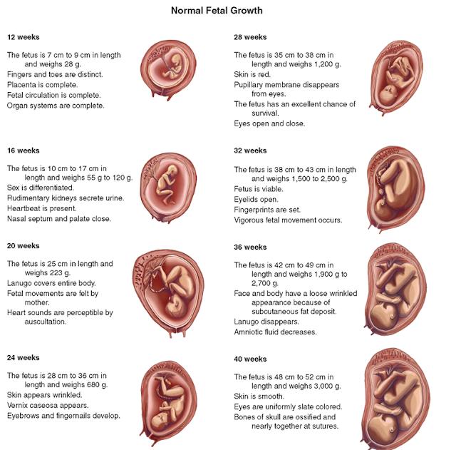 normal fetal growth