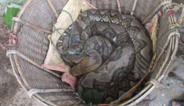 কক্সবাজারের মহেশখালী ৪১ কেজি ওজনের অজগর উদ্ধার