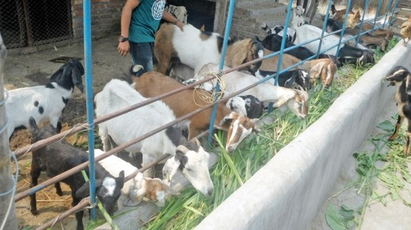 how to Start Goat Farming