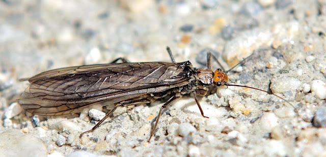Alpen Steinfliege - Alps Stonefly