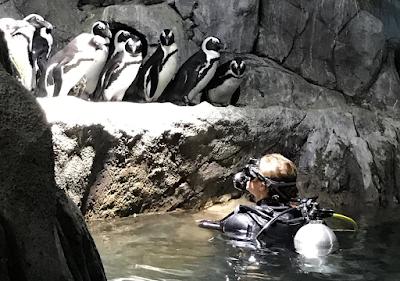 Penguin dive at OdySea Aquarium