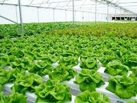 Jenis jenis tanaman hidroponik