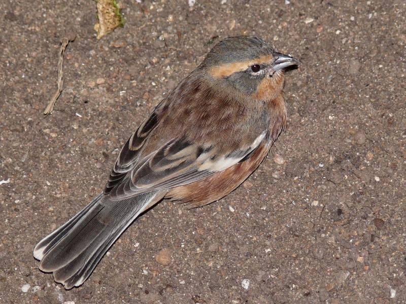 Cinnamon Warbling finch