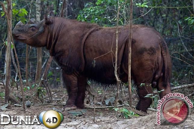 Keberadaan Badak Sumatera di Mahulu Kaltim segera dilacak