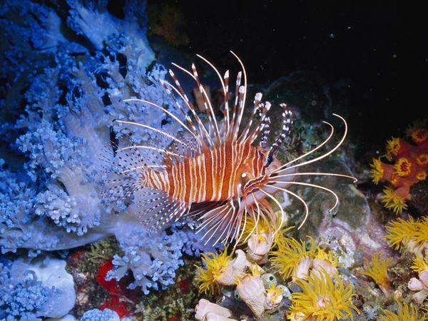 سمكة اسد البحر عندما يجتمع الجمال والخطر li-fish_610_600x450.