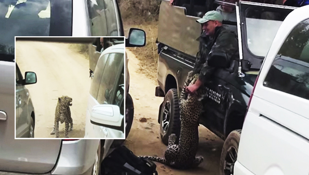 Caught On Camera:  Leopard Attacks Safari Guide