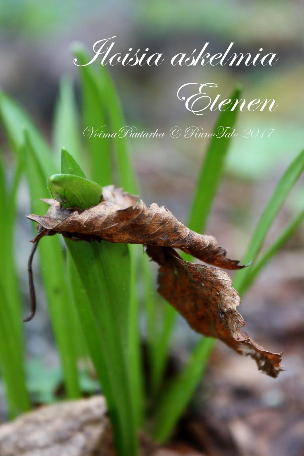 Iloisia askelmia Etenen - Runotalon voimakortti - idänsinililja