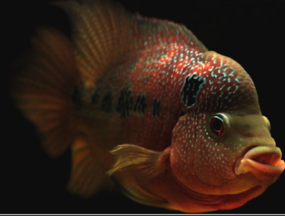 """ikan Louhan Golden Red"""