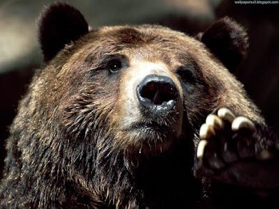 bears normal resolution hd desktop background wallpaper 2