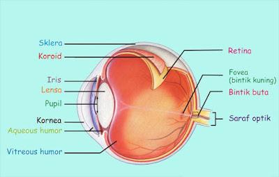 Mata merupakan organ penglihatan bagi insan Gambar Bagian-Bagian Mata dan Fungsinya Terkompleks