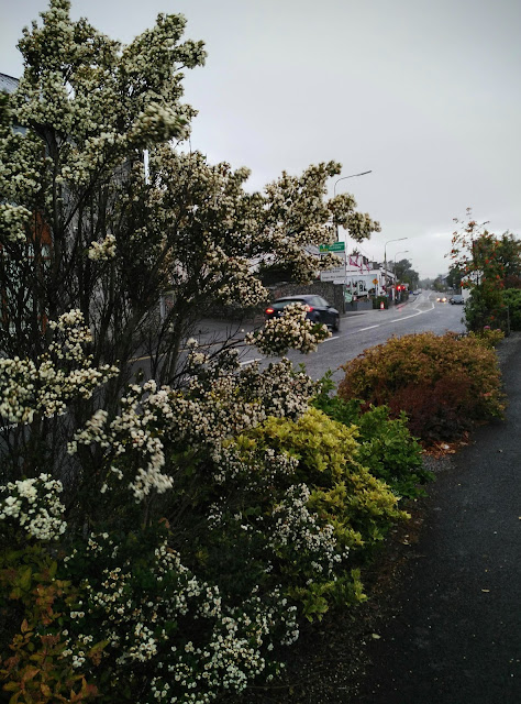 blossoming shrub and view of Moycullen