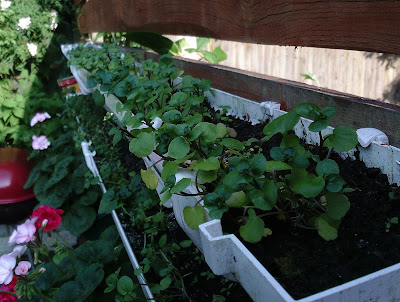 Watercress grown in guttering garden review of 2017 Green Fingered Blog