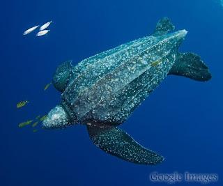 Penyu belimbing (Leatherback sea turtle)