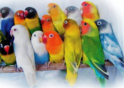 Mendulang Rupiah dari Lovebird
