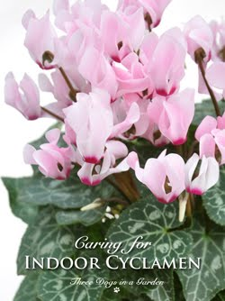 Solving the Mystery of Cyclamen Care