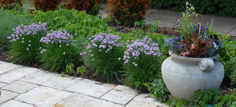 bordura de jardín con cebollino (allium schoenoprasum)