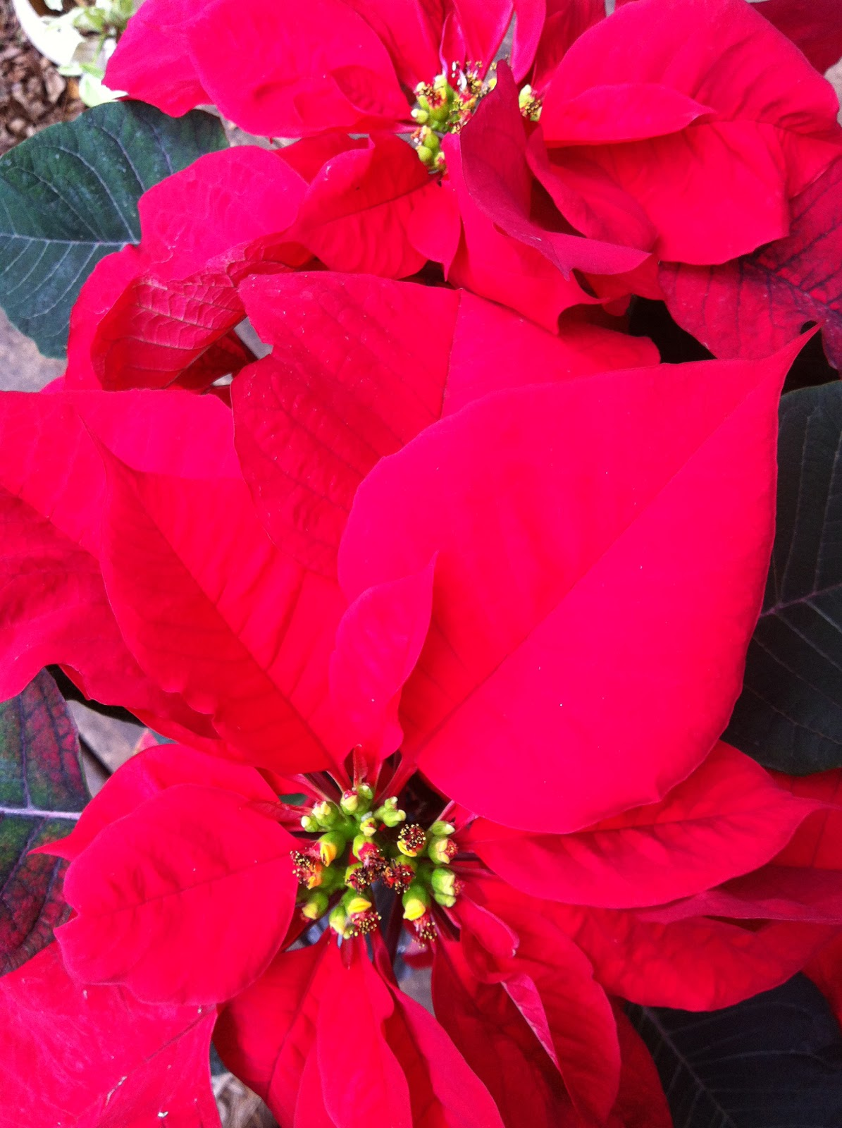 Meaning Of Poinsettias What Do Poinsettia Plants Mean