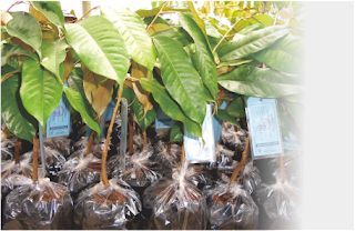 harga-jual-bibit-durian-menoreh-kuning.A.1.jpg