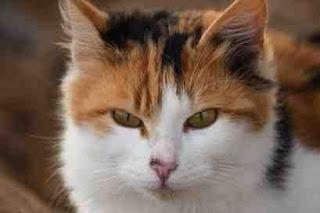kucing dan serangan jantung