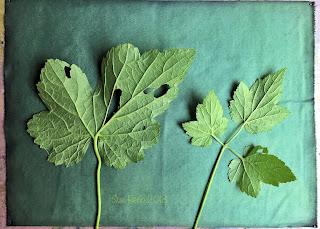 Wet cyanotype_Sue Reno_Image 431