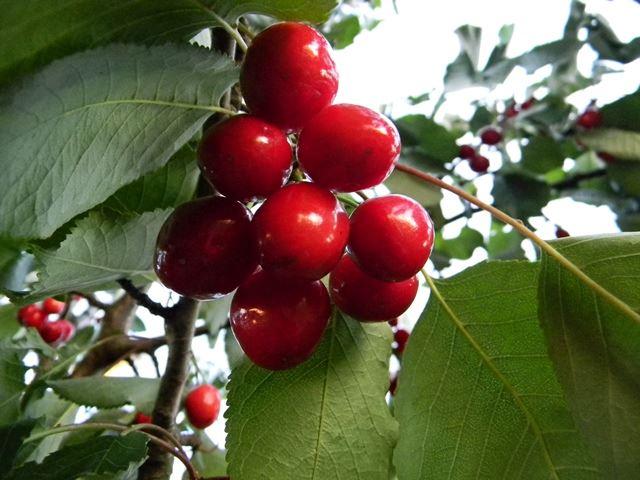 owoce, sad, koło domu, słodkie