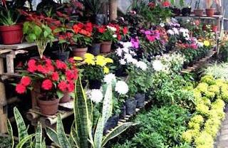usaha budidaya tanaman hias